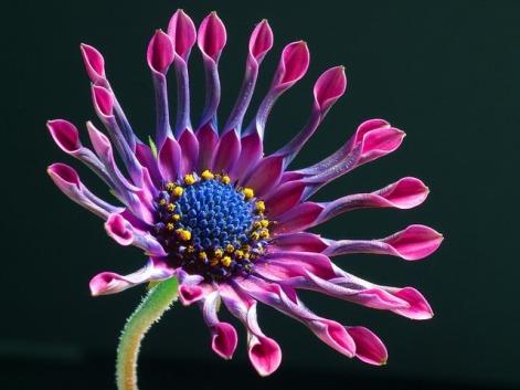 african-daisy-3413_640