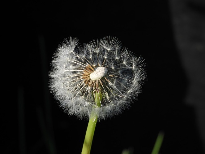 dandelion-4144858_960_720
